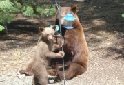 bear-truckee